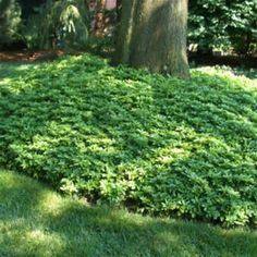 pachysandra ground cover... ~ WOW, LOTS OF GROUND COVERS ON THIS WEBSITE ~