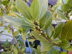 LAUREL BAY LEAF is an aromic mediterranean shrub. Zones 8-13. This one of the best laurels to put into a container.