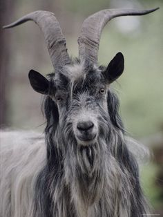 Feral Goat Male, Scotland Photographic Print by Niall Benvie . Animals With Horns, Animals And Pets, Mouse Deer, Ancient Greek Religion, Cosplay Horns, North American Animals, Animal Kingdom, Animals Beautiful, Mammals