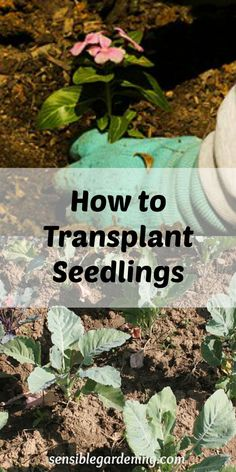 How to Transplant Seedlings with Sensible Gardening