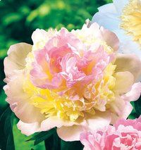 """Raspberry Sundae Deluxe Peony  Lush raspberry and vanilla-coloured petals surrounded by beautiful green foliage. Will brighten your garden for years. Flowers are full and large (5-7"""" across), and their fragrance is enticing and sweet. Their desirablility as cut flowers is legendary.  Blooms early summer  Zone 3a-9b  Full Sun  Deer Resistant"""