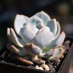 Echeveria 'Monroe' 梦露 2019-03-17 #多肉植物 #succulents