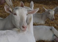 A Visit to a Saanen Goat Farm in Canada | Eat locally. Blog globally.  #goatvet likes this well run dairy