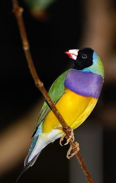 Black Headed Lady Gouldian Finch (Chloebia gouldiae). Shot at the Bird Aviary in Niagara Falls, Ontario