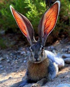 Amazing how the light shows the delicate veins in the ears! This is a Hare, sometimes called a Jack Rabbit Nature Animals, Animals And Pets, Baby Animals, Funny Animals, Cute Animals, Animals In The Wild, Funny Dogs, Desert Animals, Beautiful Creatures