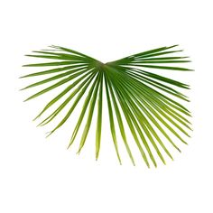 zameraz70 — альбом «СКРАП НАБОРЫ / МОРСКИЕ СКРАП НАБОРЫ / 363 Tropical... ❤ liked on Polyvore featuring plants, backgrounds, flowers, palms, beach and filler