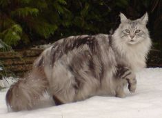Maine coon cat: ABCs of Animal World: The 26 Most Beautiful and Prolific Cat Breeds in the World #rarecatsbreeds