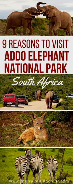 Addo Elephant Park in South Africa is home to many elephants which can be seen in abundance during a visit to this amazing park on your next trip or safari. South Africa Safari Méi Informatiounen zu eisem Site https://storelatina.com/southafrica/travelling #Africadosul #SouthAfrica #africadelsur