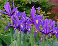Iris Hollandica Blue Magic for sale for £ Buy all kinds of Flower bulbs with discounts up to Ordered today = deliverd tomorrow. Iris Flowers, Bulb Flowers, Colorful Flowers, Beautiful Flowers, Home Garden Plants, Home And Garden, Planting Seeds, Planting Flowers, Dutch Iris
