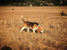 Let Them Learn Through Experience   The Do's and Don'ts of Beagle Hunting