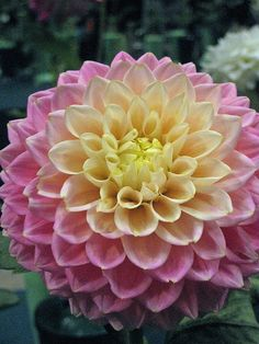 "Sugartown Sunrise Dahlia (5"" bloom; 4' bush): pink and yellow; formal…"