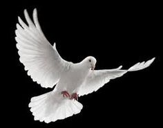 Afbeeldingsresultaat voor witte duif