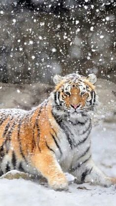 A tiger in the snow. How lovely.