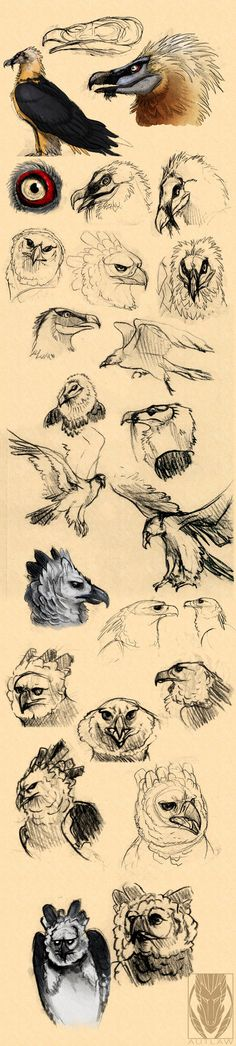 Harpy eagle and Bearded vulture studies by Autlaw.deviantart.com on @DeviantArt