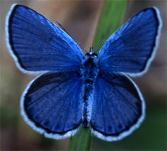 Karner Blue Butterfly | Return to the Main Page >>