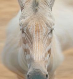 An albino zebra. I don't know if I've ever seen such a gorgeous animal.