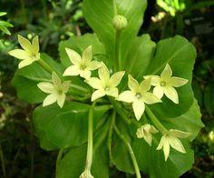 Climatron conservatory - flowers of the rare Hawaiian plant Alula ...