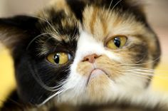 photos of grumpy cat - Why Does My Cat Lick Me? ~ What's Up With That?