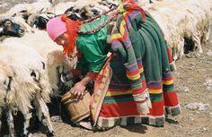 Nomad woman feeding her herd in Tibet