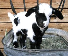Someone please get me a baby goat!!! This one would fit right in with Angus and Zoe!