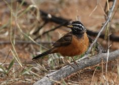 Cinnamon-breasted bunting, Emberiza tahapisi, at Pilanesberg National Park, Northwest Province, South Africa | by Derek Keats