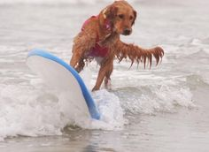 This Golden Retriever brings girl power to the competitive surf dog scene.