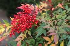 How to Cut, Store and Use Winterberry (with Pictures)