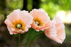 iceland poppy - paper flowers for wedding, gift, or home decor