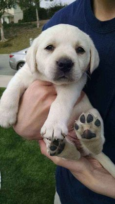 Adorable Lab puppy. Should grow into those paws soon.