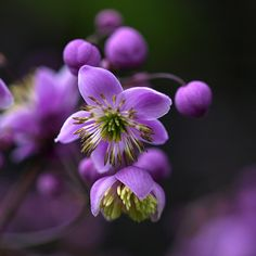 ~~Meadow Rue~~