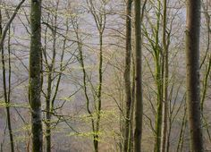 Beech forest in south of #sweden