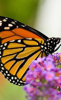 Over the past 20 years, North America's population of monarch butterflies has declined by a catastrophic 90 percent, a plight that may be caused by pesticides and loss of the once-vast acres of wild milkweed that are the creatures' food source. Monarch Butterfly Migration, Butterfly Chrysalis, Butterfly Weed, Butterfly Plants, Butterfly Facts For Kids, Butterfly Pictures, Information About Butterfly, Save Animals, Wild Animals