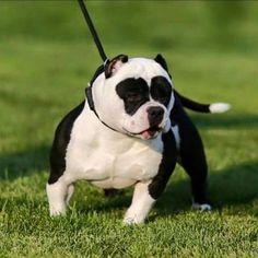 American Bully - I'd have to call it Panda! Cãezinhos Bulldog, Bulldog Puppies, Cute Puppies, Dogs And Puppies, Doggies, Pitbull Terrier, American Bully Pitbull, Animals And Pets, Cute Animals