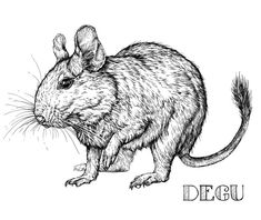 Sketch of Degu rodent pet. Vector Illustration. Isolated on white , #AFFILIATE, #rodent, #pet, #Sketch, #Degu, #Isolated #ad