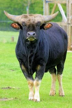 Gayal (Bos frontalis), also known as mithun, is a large semi-domesticated bovine… Animals With Horns, Large Animals, Animals And Pets, Cute Animals, Hereford, Amazing Beasts, African Buffalo, Bull Cow, Wild Creatures