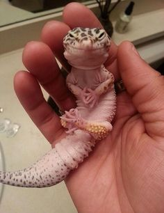 """An adorable leopard gecko""....looks more like he's plotting world dominance....."