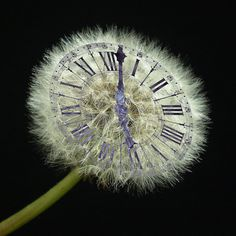 """""""Time isn't precious at all, because it is an illusion. What you perceive as precious is not time but the one point that is out of time: the Now. That is precious indeed. The more you are focused on time—past and future—the more you miss the Now, the most precious thing there is."""" ― Eckhart Tolle / Dandelion clock"""