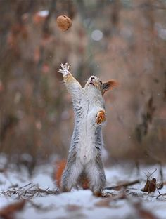 Russian nature photographer Vadim Trunov has captured impressivephotos of two adorable squirrels having some wintertime fun, and interacting with their surroundings...