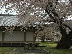 Cherry blossom in Daigo Temple