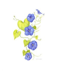 flowers morning glory morning glorys grow on vines curling counter ...