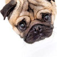 Maurice the Pug