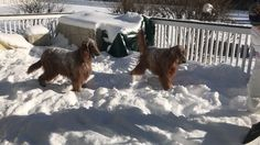 Ierse setters in de sneeuw.