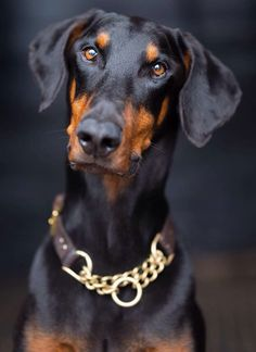 Gorgeous  Doberman