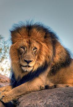 Izu the Lion King by pbuschmann