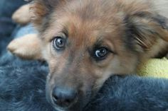 Simba!! is an adoptable Shetland Sheepdog Sheltie Dog in Celina, OH. Meet Simba! He is approximately 10 weeks old according to the vet. We are guessing him to be a shepherd/sheltie mix. He currently w...