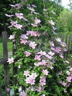Klematis Dufek Plant Shelves, Gardening, Plants, Lawn And Garden, Plant, Planets, Horticulture