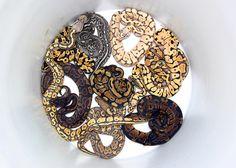 Bucket 'o' Ball Pythons