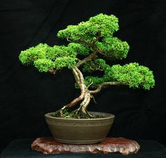 Linchpin By Seth Godin And Generate By Daniel Pink - Two Guides, One Particular Information Shimpaku Juniper Bonsai. Bonsai Art, Bonsai Plants, Bonsai Garden, Plantas Bonsai, Ikebana, Bonsai Nursery, Juniper Bonsai, Bonsai Styles, Indoor Bonsai