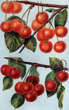 Instant Art Printable - Gorgeous Cherries - The Graphics Fairy