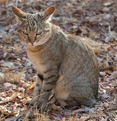 African Wild Cat - and that's just what it is.  Wild.   You could be fooled by this chap's close resemblance to the kitty next door but he's a hardened bush hunter surviving on rodents, reptiles and birds. Photographed on the Entabeni Reserve in Limpopo Province by Warwick Tarboton